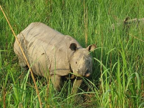 Chitwan_Rhino